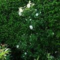 Alba Maxima #kwiaty #ogródek #peonie #róże