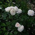 Artemis #kwiaty #odród #róże