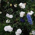 Iceberg #kwiaty #odród #róże