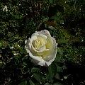 American Heritage #kwiaty #ogród #róże