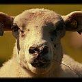 Prowadze -nie pije #baran #owca #ryj #twarz