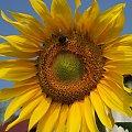 Mały gość zawitał po odrobinę nektaru #kwiat #owad #przyroda #słonecznik