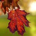 Jesienny liść #jesień #przyroda #liść