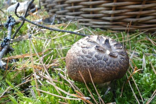 Sarniak dachówkowaty.Grzyb rzadki,chroniony.Ostatni raz spotkałem w lasach koło Przechlewa pod koniec lat 70.Teraz spotkałem w lasach w okolicy Lipnicy /1szt./