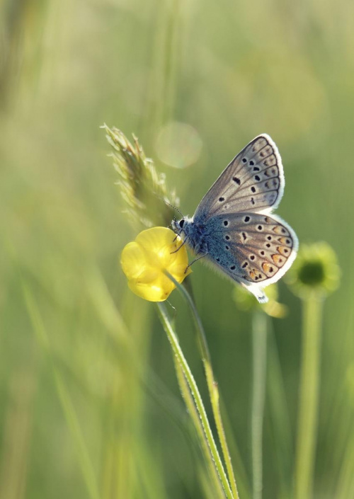 podświetlany modraszek #kwiat #makro #motyl #przyroda