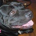 Kazio silny pies o łagodnym charakterze szuka domu #Amstaff #AST #DoAdopcji #oddam #Staffik #SzukaDomu #TTB