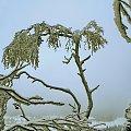 'Płacząca wdowa' #zima #śnieg #drewo #wdowa