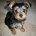 Moja Tosia #animals #dog #photo #pies #Tosia #york #YorkshireTerier #zdjęcia #zwierzęta
