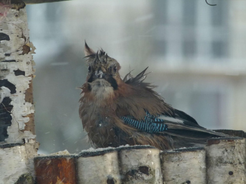 Sójka #Las #Przyroda #Ptaki #Śnieg #Zima