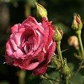 #kwiat #roza #róża