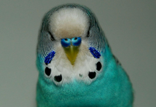 towarzyska papuga Blu