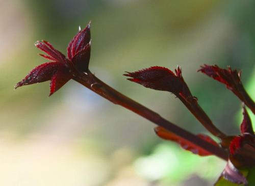 Z tego powinna wyjsc przepiekna roza... :D #roza #wiosna