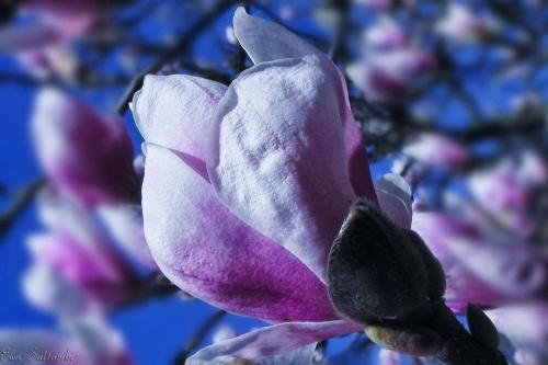 Magnolie... Moja wiosna:) #kwiat #magnolie #wiosna