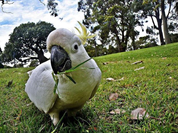 Kakadu #PapugaKakadu