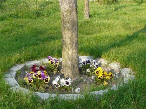 Bratki wokół jabłoni #bratki #kwiaty #ogród #rośliny