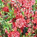 Pigwowiec #kwiaty #łąka #Natura #Polska #przyroda