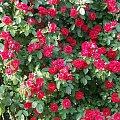 ogród w kolejnych latach #róża #RóżaFlamentanz2006 #Ogród2006