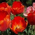 kwiaty 2014 #tulipan #tulipany #TulipanRoccoco #Roccoco #TulipanyPapuzie