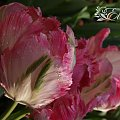kwiaty 2014 #tulipan #tulipany #TulipanyPapuzie