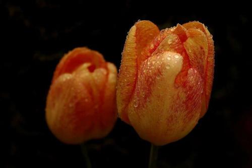 Tulipan w porannej rosie #tulipan #rosa